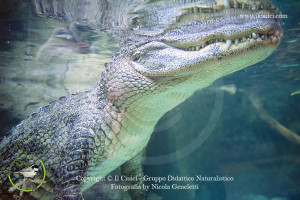 Coccodrillo americano-Crocodylus acutus