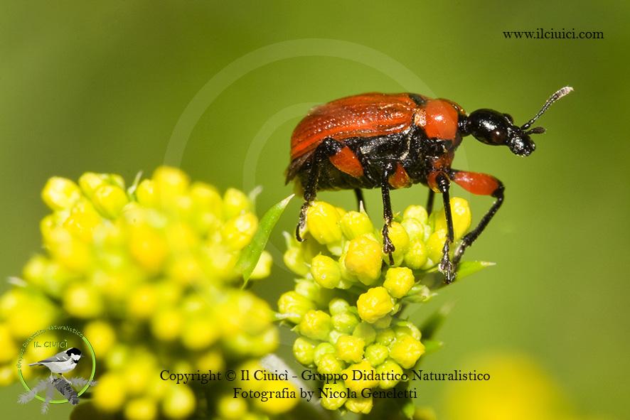Lilioceris merdigera