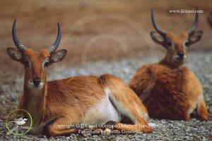 Antilope lichi - Kobus leche 2