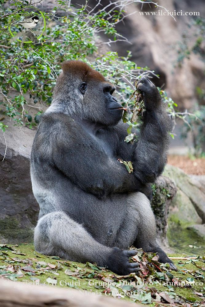 Gorilla gorilla_Gorilla_026