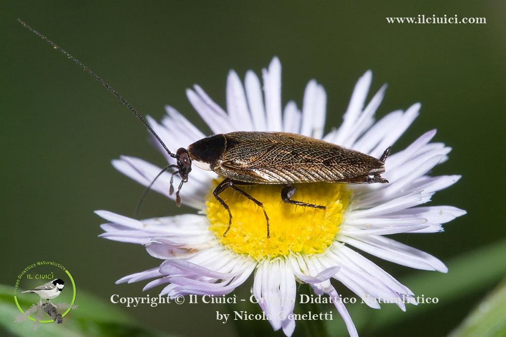 Blattellidae_Ectobius sp_008