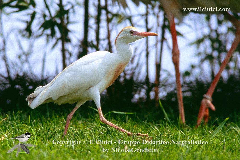 Bubulcus ibis_Airone guardabuoi_022