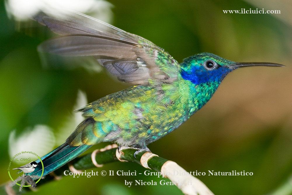 Colibri coruscans_Sparkling violetear_005