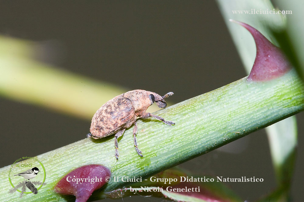 Curculionidae_Polydrosus mollis_002