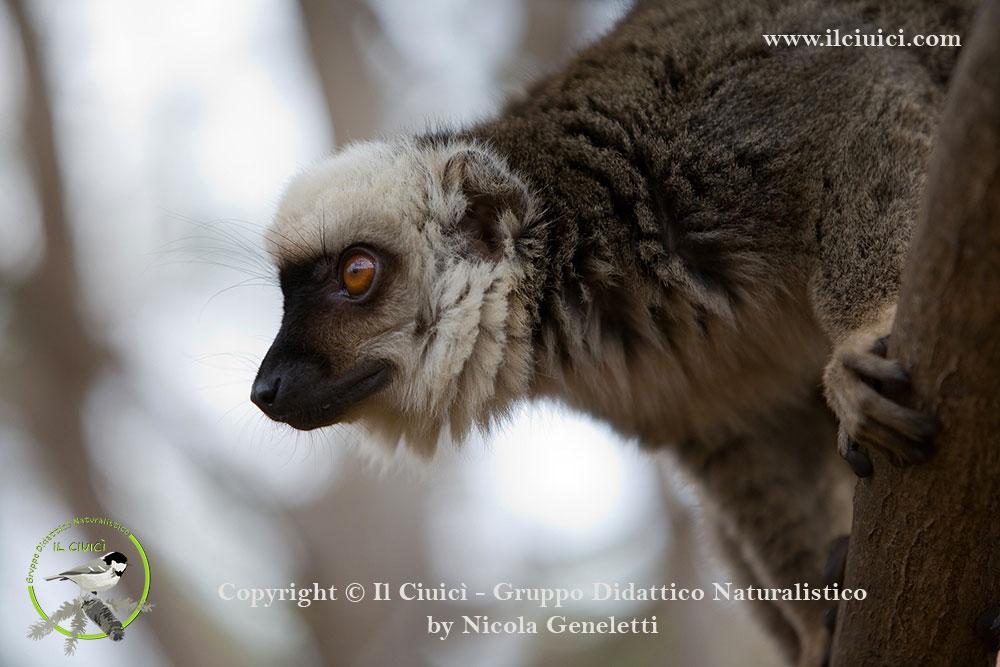 Eulemur fulvus albifrons_Lemure bruno_014
