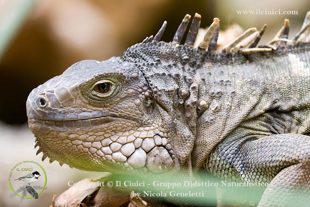 Iguana iguana_Iguana dai tubercoli_012