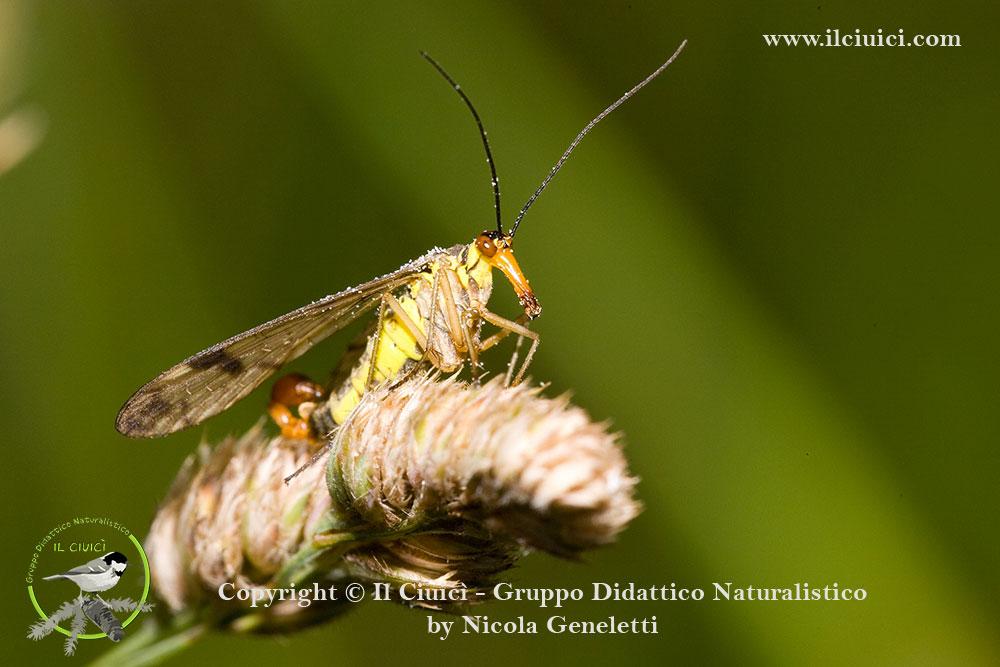 Panorpidae_Panorpa communis_001