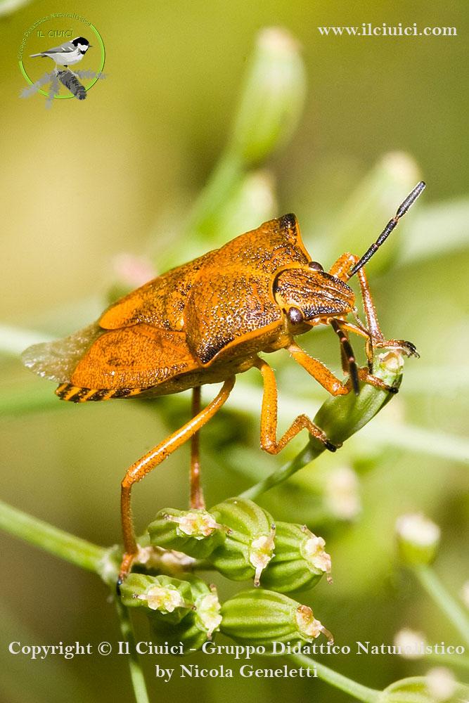Pentatomidae_Carpocoris mediterraneus_004