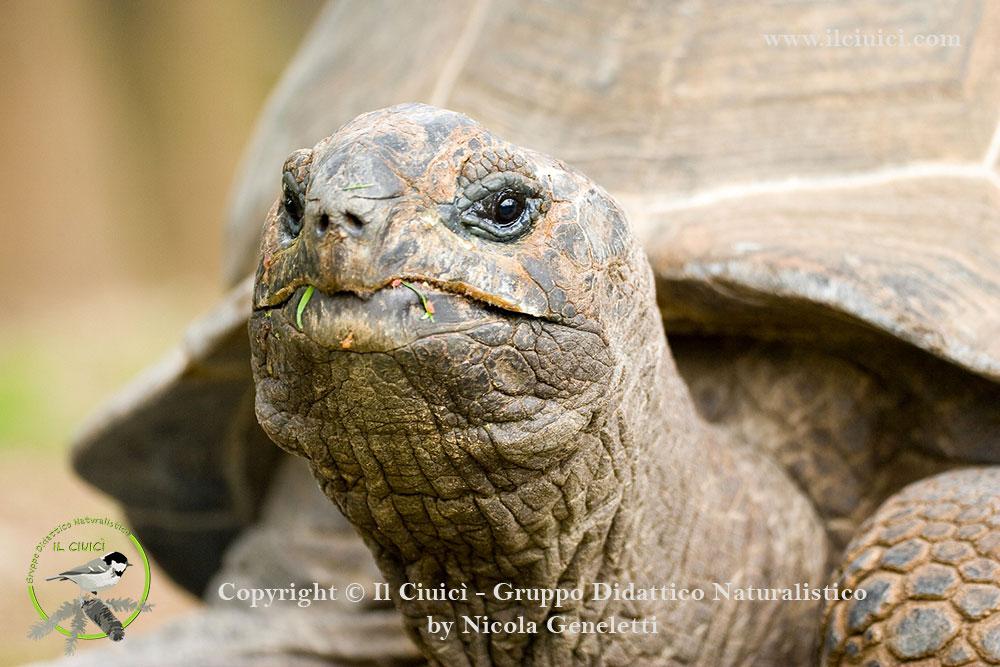 Testudo gigantea_Testuggine delle Seychelles_004
