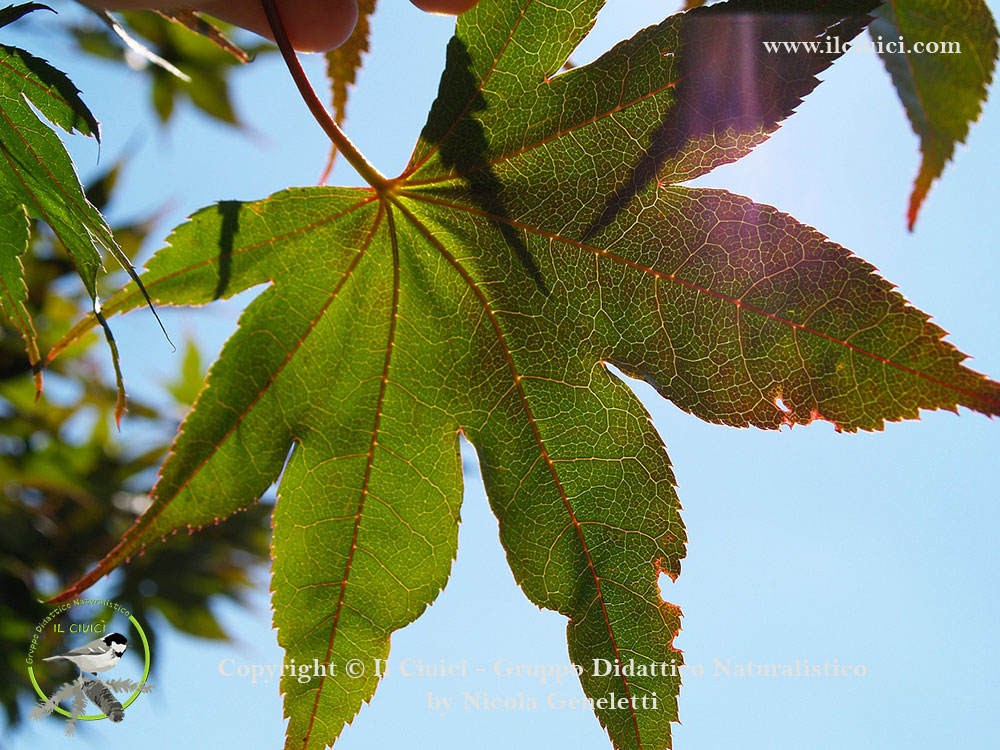 Acer palmatum_005