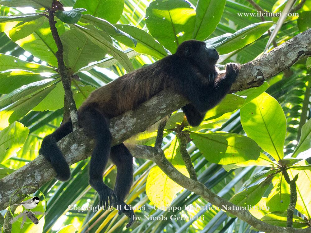 curiosità Alouatta palliata_Scimmia urlatrice_016