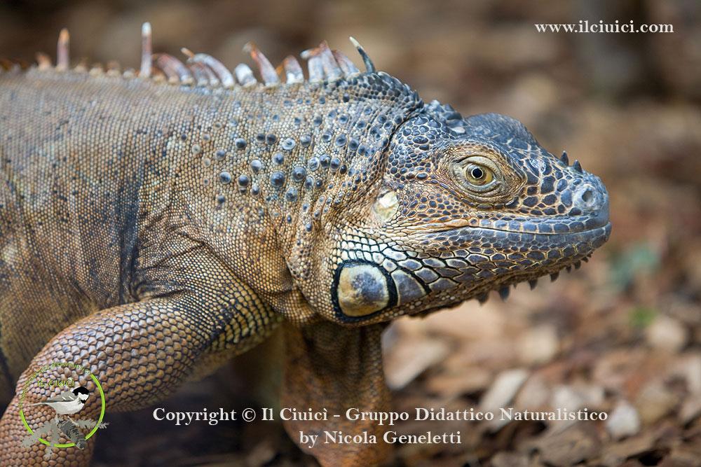 Iguana iguana_Iguana dai tubercoli_022