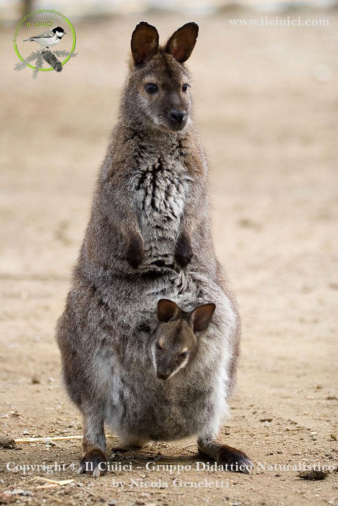 curiosità Macropus rufogriseus_Wallaby dal collo rosso_006