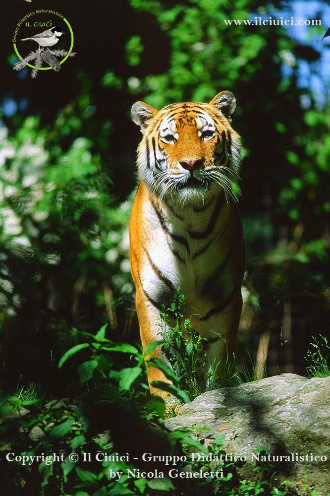 Panthera tigris altaica Tigre siberiana