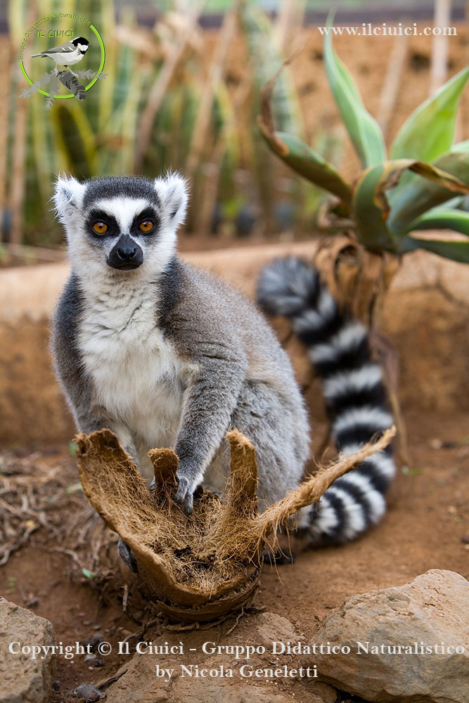 puzza - Lemur catta_Lemure catta