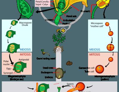Differenze fra ciclo vitale: basidiomicete vs angiosperma