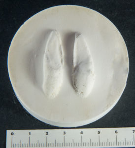 roe deer footprint