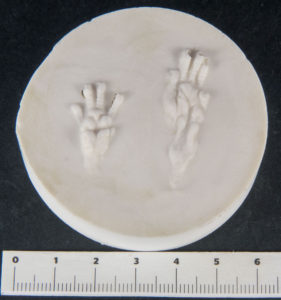 molds casts footprint brown rat