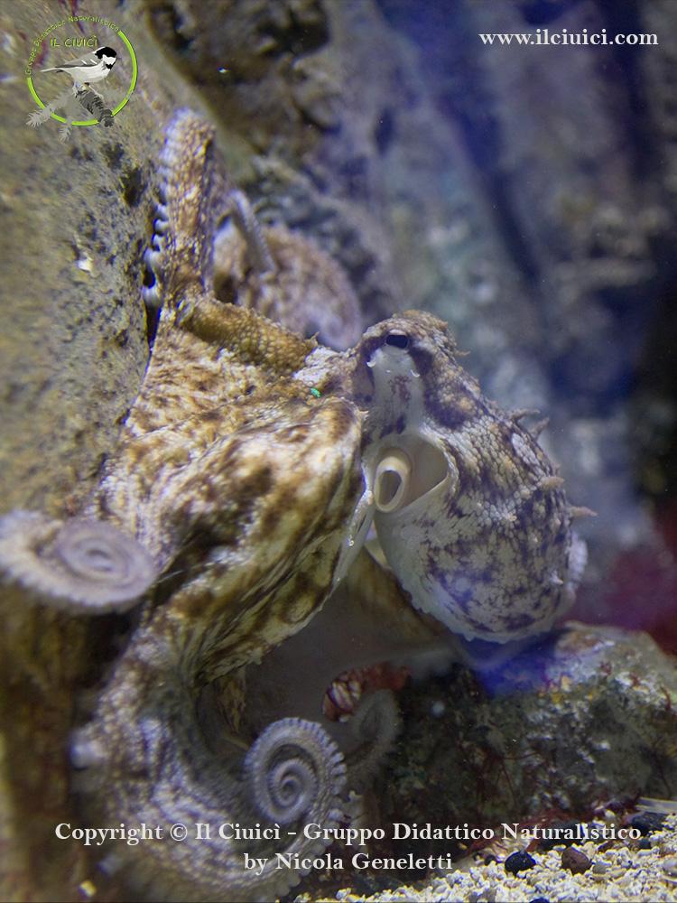 Polpo comune Octopus vulgaris polipo con le patate