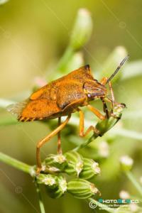 Pentatomidae - Carpocoris mediterraneus