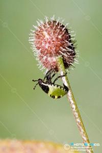 Pentatomidae - Palomena prasina