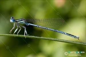 Platycnemididae - Platycnemis pennipes
