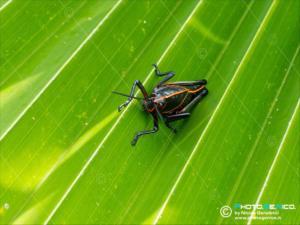 Romaleidae - Romalea microptera