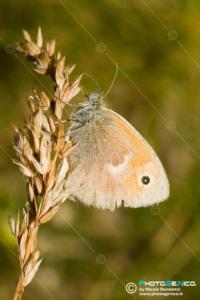 Satyridae - Coenonympha pamphilus