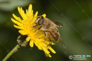 Syrphidae - Eristalis tenax