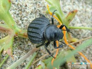 Tenebrionidae - Pimelia bipunctata cajetana