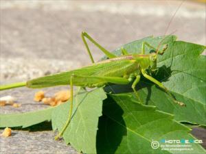 Tettigoniidae-Tettigonia viridissima