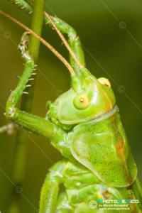 Tettigoniidae - Tettigonia viridissima