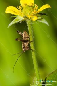 Tettigoniidae - Yrsinella raymondii