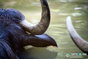 Bubalus arnee - Bufalo d'acqua