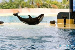 Orcinus orca -Orca