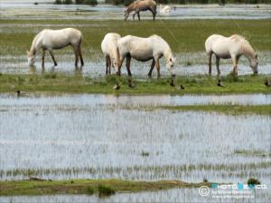 Equus caballus - Cavallo della Camargue