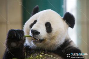 Ailuropoda melanoleuca - Panda gigante