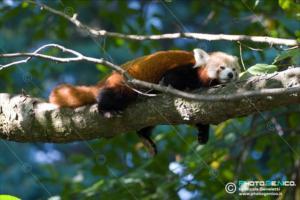 Ailurus fulgens - Panda minore