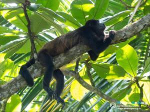 Alouatta palliata - Scimmia urlatrice