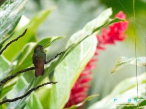 Amazilia tzacatl - Amazilia codarossiccia