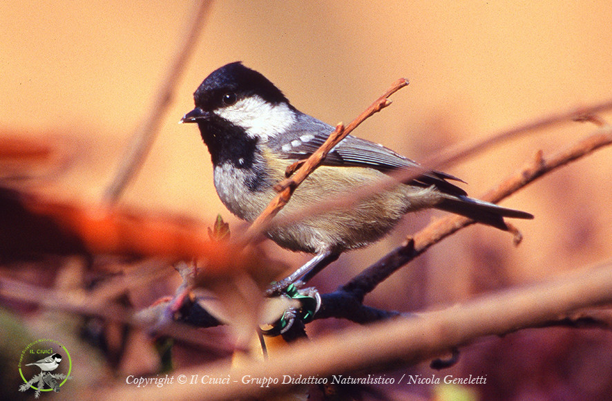 THE CIUICI' – Coal tit