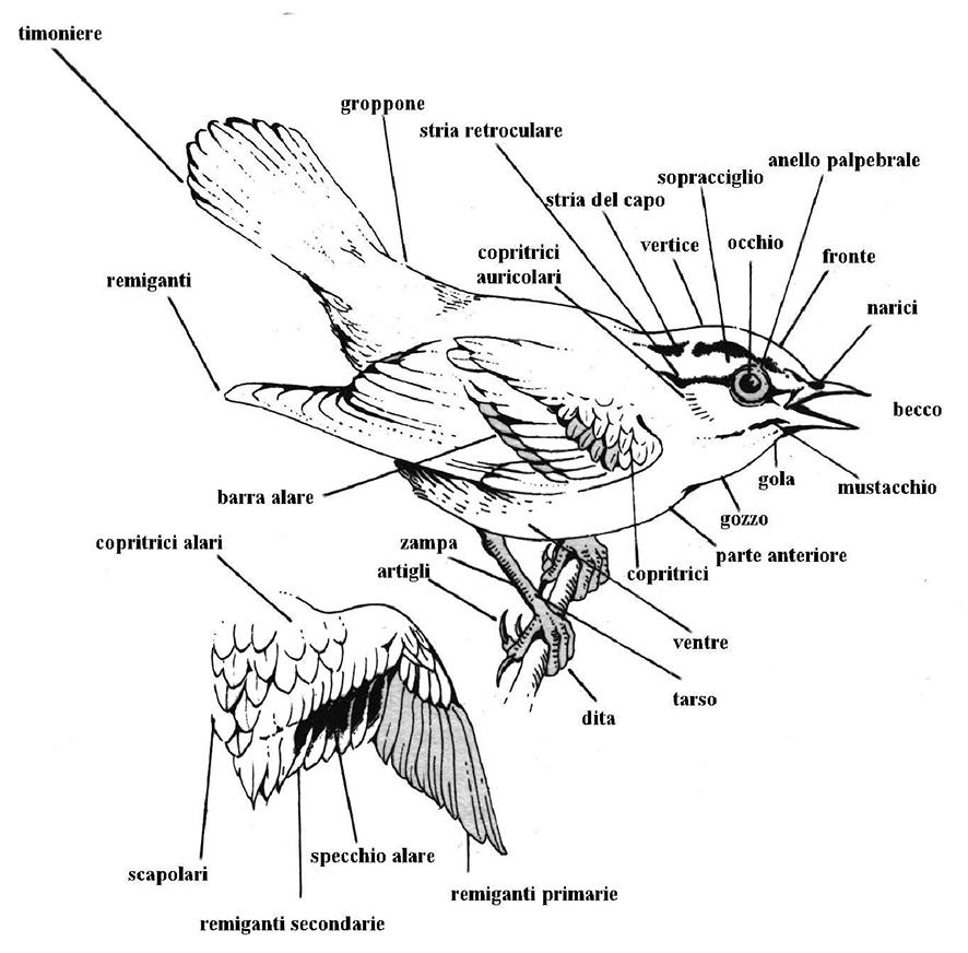 Penne o piume il ciuic - Uccelli che sbattono contro le finestre ...