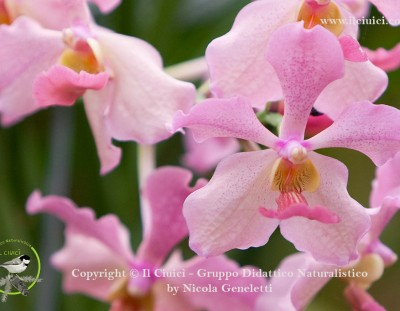 Simbiosi nel Lán (orchidea)