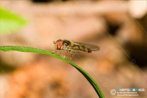 Syrphidae - Episyrphus balteatus