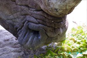 Ceratotherium simum - Rinoceronte bianco