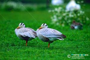 Anser indicus - Oca indiana