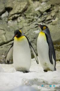 Aptenodytes patagonica - Pinguino reale